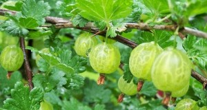 Goodness of Gooseberry