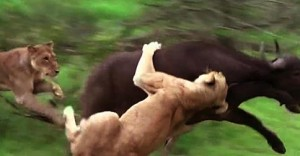 Lion Vs Buffalo: Lions Attempt To Attack Buffalo Backfires