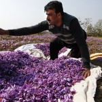 Saffron – How Do They Do It?